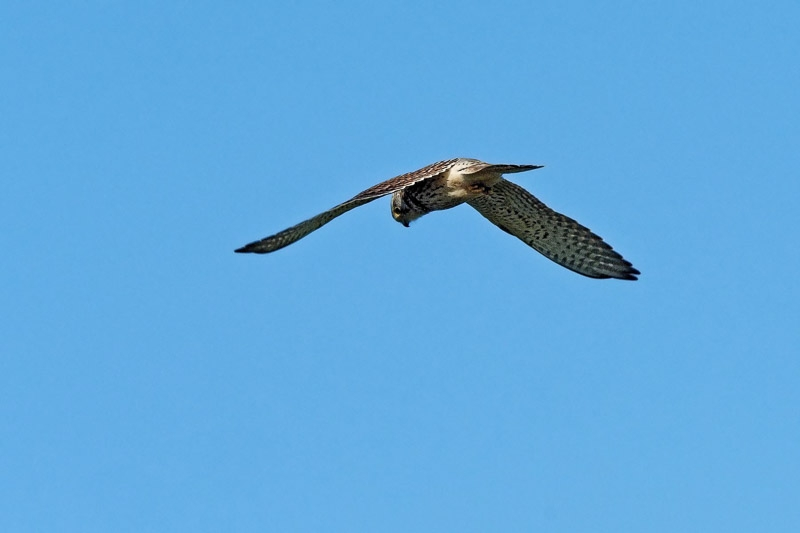Kestrel photographed by Peter Hicks