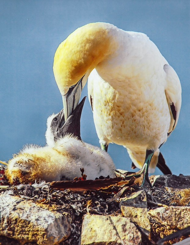 Silver Award - Gannet Chick being fed by it's Parent photographed by Chris Stone