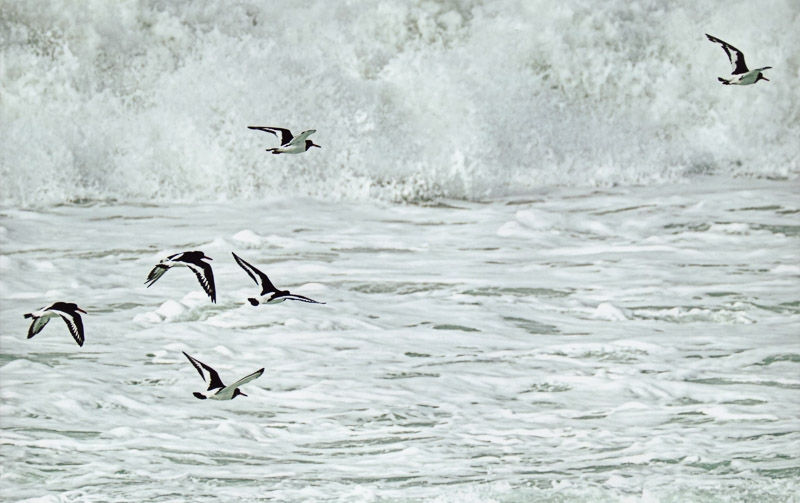 Oyster Catchers photographed by Peter Hicks