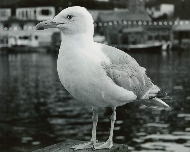 Commended - Seagull photographed by Kieran Rowe