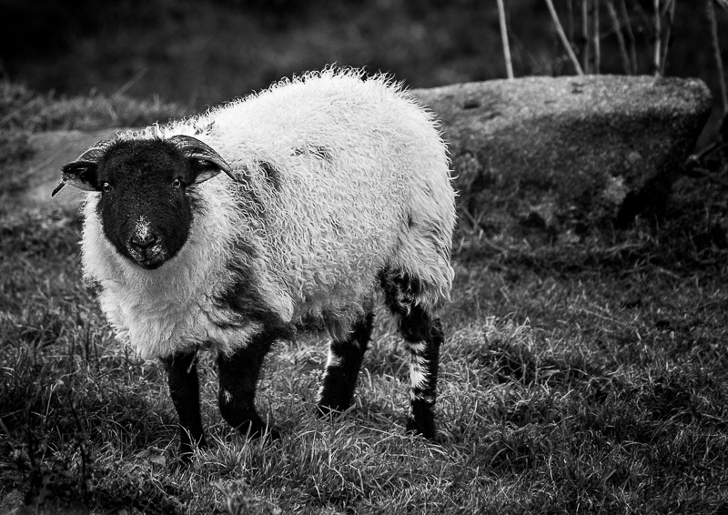 Baa Baa B&W Sheep photographed by Robert Dawson