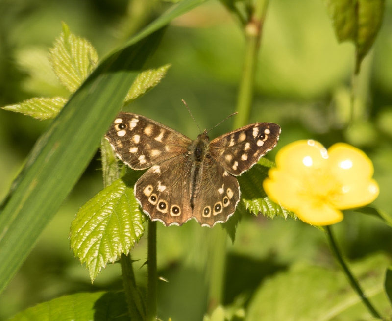 Butterfly at Dunmere photographed by Kelvin Pyke