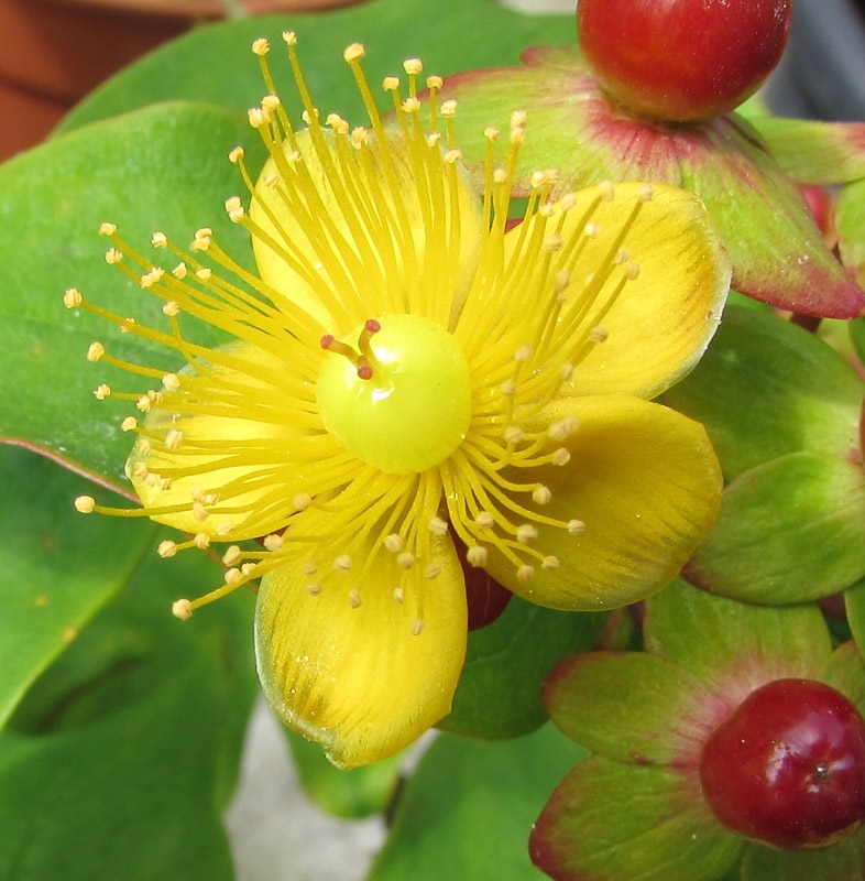 Commended - Hypericum photographed by Rose Cross