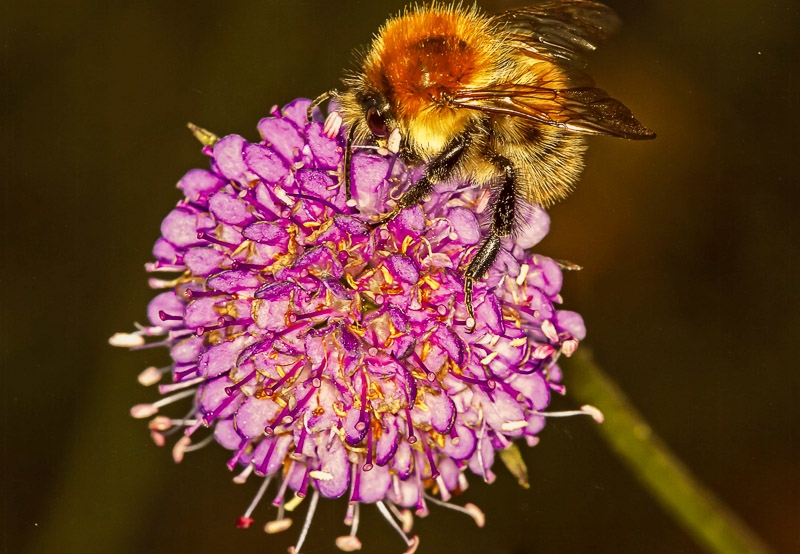 Gold Award - Bumble Bee on a Scabious Flower photographed by Chris Stone