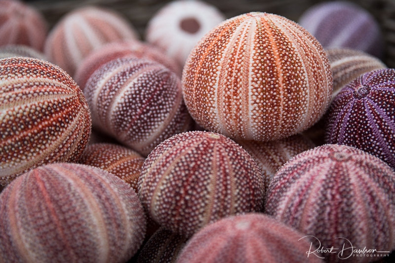 Sea Urchins photographed by Robert Dawson